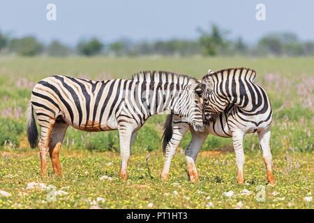 Africa, Namibia, Etosha National Park, burchell's zebras, Equus quagga burchelli, sniffing - Stock Photo