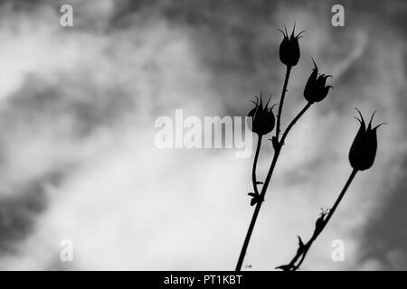 Seed pods on top of long stems in a garden. - Stock Photo