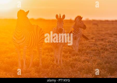 Africa, Namibia, Etosha National Park, burchell's zebras, Equus quagga burchelli, at sunset - Stock Photo