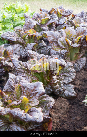 organic lettuces growing in rows on allotment, Lactuca sativa - Lettuce 'Nymans' - Stock Photo