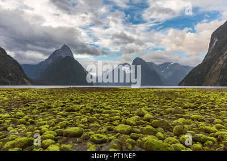 Rocks covered in green seaweed on the shore of Milford Sound with low tide, Fiordland NP, Southland district, Southland region, South Island, New Zealand, - Stock Photo