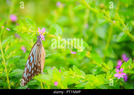 The dark glassy blue tiger butterfly is perched on purple Mexican heather flowers. Selective focus - Stock Photo