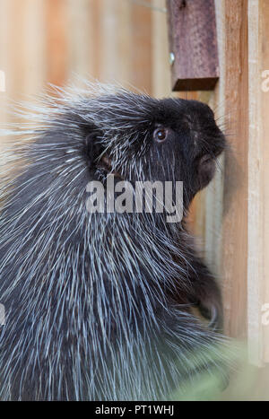 Osnabrueck, Lower Saxony. 05th Oct, 2018. A New World porcupine standing in its enclosure in the new theme world 'Manitoba' at Osnabrueck Zoo. Visitors can not only visit the new North American animal world, but also learn a lot about the animal inhabitants on the official opening weekend on 6 and 7 October. Credit: Friso Gentsch/dpa/Alamy Live News - Stock Photo