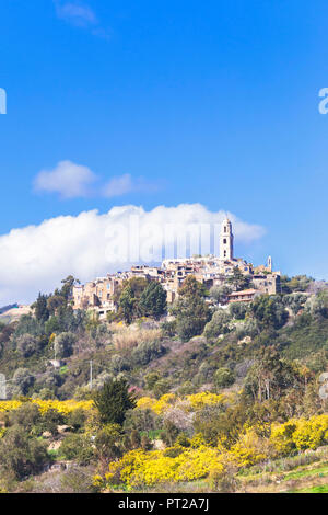 Blooming of mimosa flowers at Bussana Vecchia, Sanremo, Province of Imperia, Liguria, Italy, Europe, - Stock Photo