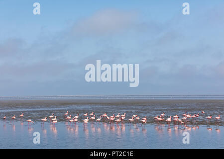 Namibia, Walvis Bay, flock of American flamingos and Lesser flamingos - Stock Photo