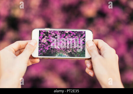 Woman's hands taking cell phone picture of pink blossoms - Stock Photo