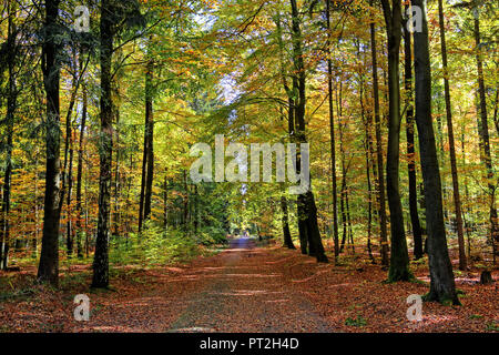 Forest path through beech forest at Hinterhermsdorf, Elbe Sandstone Mountains, Saxon Switzerland, Saxony, Germany - Stock Photo