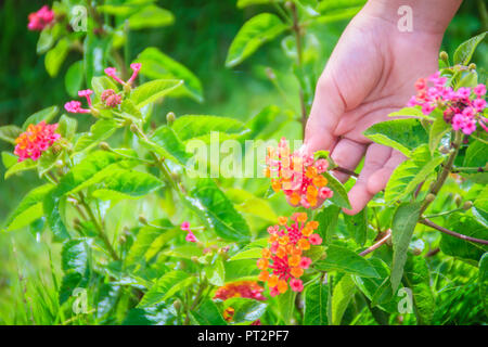 Hand holding a bouquet of orange Lantana camara flowers with green leaves background. Lantana camara, also known as big-sage , wild-sage, red-sage, an - Stock Photo