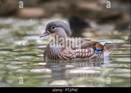 Swimming female Mandarin duck - Stock Photo