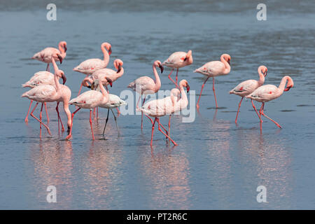 Namibia, Walvis Bay, flock of American flamingos and one Lesser flamingo - Stock Photo