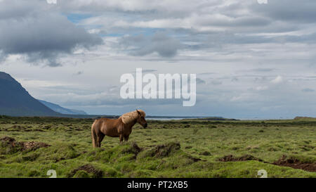 Icelandic horse, photographed on Iceland in summer - Stock Photo