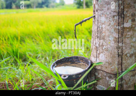 The problem of para rubber tapping during the rainy season. Tapping rubber in the rainy season is a very important issue for farmers, due to the high  - Stock Photo
