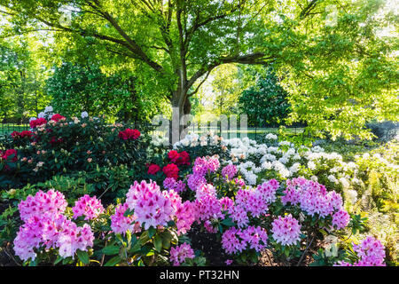 England, London, Greenwhich, Greenwhich Park, Rhododendron Flowers in Bloom - Stock Photo