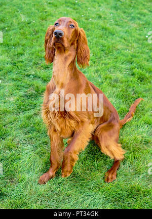 A young Irish Setter puppy stands pointing on a treat with one paw up - Stock Photo
