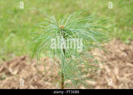 young white pine tree growing in backyard, just planted. - Stock Photo
