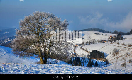 Old beeches on the Schauinsland in winter, Southern Black Forest, Hochschwarzwald, Baden-Wurttemberg, Germany - Stock Photo