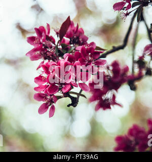 Apple tree and cherry tree in full bloom, crabapple, Malus 'Royalty' - Stock Photo