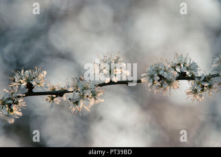 Delicate white cherry blossoms in the evening sun - Stock Photo