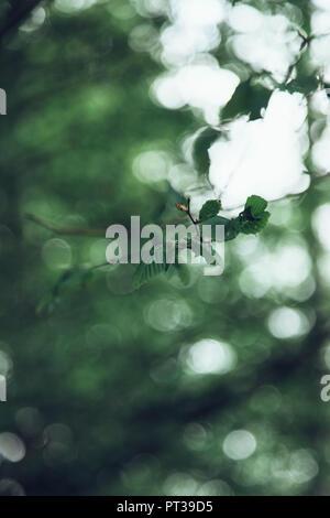 Delicate birch leaves in April - Stock Photo