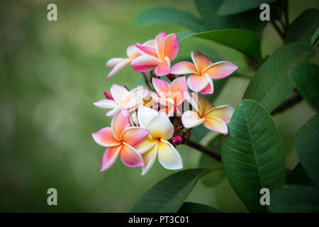Pink plumeria flowers on a branch with green leaves - Stock Photo