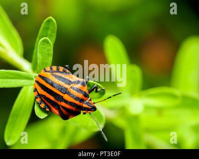 Italian striped-bug / Minstrel bug / Harlequin bug (Graphosoma lineatum / Graphosoma italicum) - Umbria, Italy - Stock Photo
