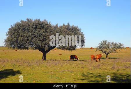 Portugal, Alentejo, Evora. Cork oak tree - Quercus Suber, in a field with cattle at pasture. - Stock Photo
