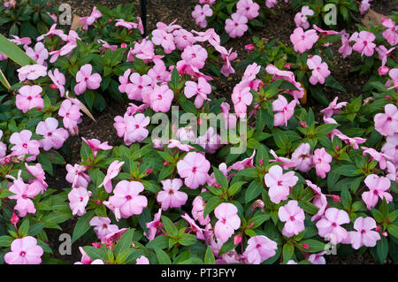 A Bed Of Pink Impatien Flowers - Stock Photo