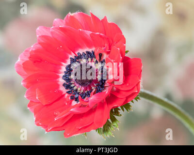 A single bloom of anemone flower- Anemone deCaen. - Stock Photo