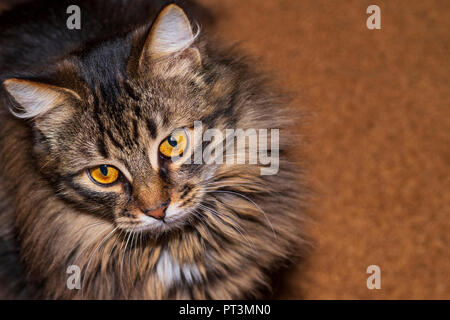 Beautiful fluffy multi-colored cat looks at me. - Stock Photo