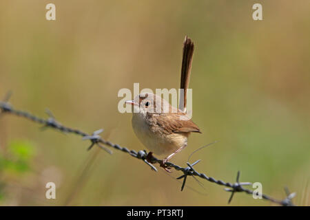 Female Red-backed Fairy-wren in Far North Queensland Australia - Stock Photo