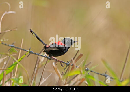 Male Red-backed Fairy-wren in Far North Queensland Australia - Stock Photo