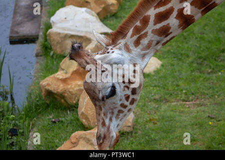 Portrait of a giraffe at a zoo - Stock Photo