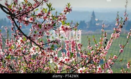 Almond blossom near Neustadt-Gimmeldingen, Pfalz, Palatinate Wine Route, Rhineland-Palatinate, Germany - Stock Photo
