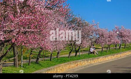 Almond blossom near Neustadt-Gimmeldingen, Pfalz, Palatinate Wine Route, Rhineland-Palatinate, Germany - Stock Photo