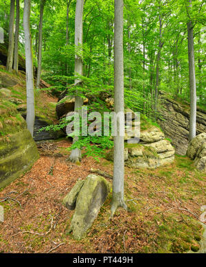 Germany, Saxony, Elbe Sandstone Mountains, National Park Saxon Switzerland, natural beech forest with large sandstone cliffs - Stock Photo