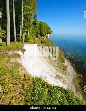 Germany, Mecklenburg-Vorpommern, Rügen Island, Jasmund National Park, view from the high shore to the Baltic Sea and the chalk cliffs, spring, beech forest on the steep bank, fresh green, wood anemone flower - Stock Photo
