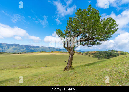 Laurel tree and cows grazing in the background, Laurisilva Forest, Fanal, Porto Moniz municipality, Madeira region, Portugal, - Stock Photo