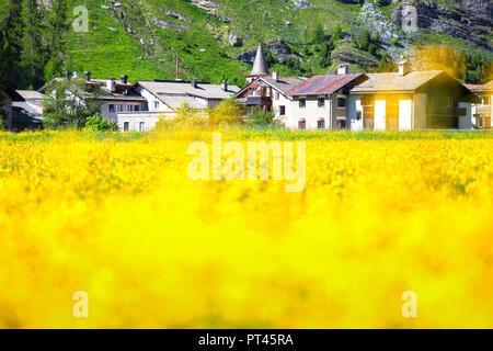 Summer bloom with village of Sils in the background, Sils, Engadin, Graubünden, Switzerland, Europe, - Stock Photo