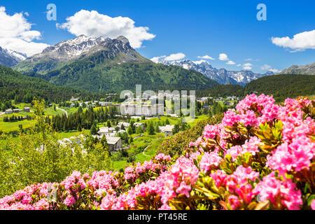 Flowering of rhododendrons with Maloja Pass in the background, Maloja Pass, Engadin, Graubünden, Switzerland, Europe, - Stock Photo
