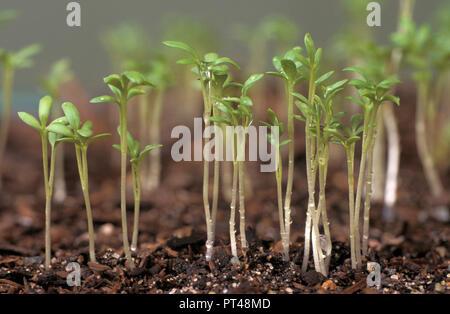 CRESS SEEDLINGS (LEPIDIUM SATIVUM) GROWING - Stock Photo