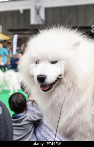 Amsterdam, The Netherlands, August 10, 2018: Big white Keeshond on the world dog show in Amsterdam in The Netherlands - Stock Photo