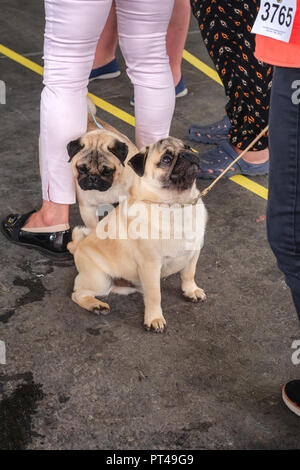 Amsterdam, The Netherlands, August 10, 2018: Pug dogs during the world dog show in Amsterdam in The Netherlands - Stock Photo