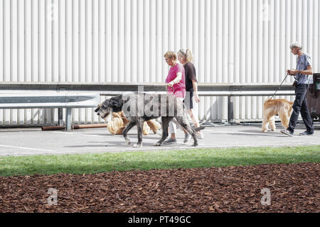 Amsterdam, The Netherlands, August 10, 2018: Irish wolfhounds let out by his owner during the World Dog Show - Stock Photo