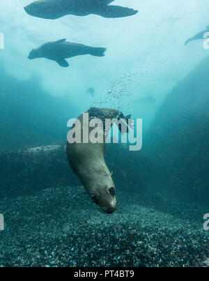 Cape fur seals at a colony in False Bay. - Stock Photo