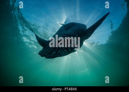 Close up view of an oceanic sun fish, West coast of South Africa. Stock Photo