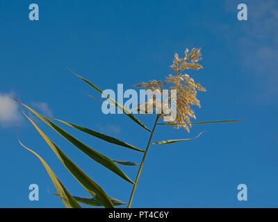 Top of giant reeds on a blue sky with fluffy clouds in Guadalhorce river estuary nature reserve in Malaga - Arundo donax - Stock Photo