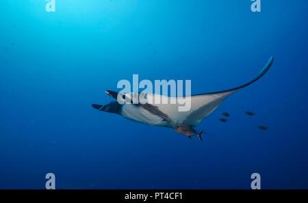 Manta ray, Revillagigedo Islands, Mexico. - Stock Photo