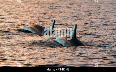Killer whales feeding on herring, northern Norway. - Stock Photo