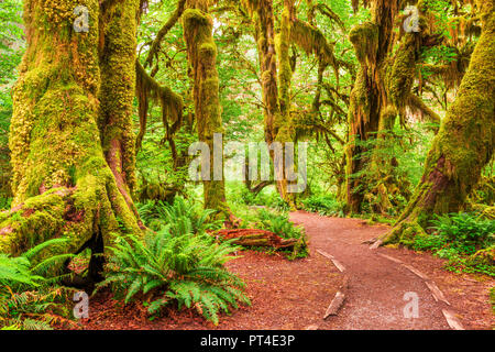 Hall of Mosses in Olympic National Park, Washington, USA. - Stock Photo