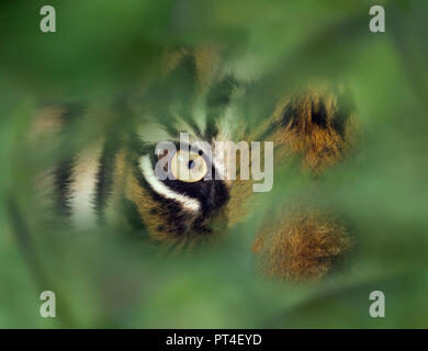 Eye of the Sumatran tiger Panthera tigris sondaica CAPTIVE - Stock Photo